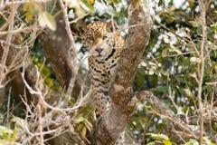 Jaguar de Pantanal, el Brasil fotografía de archivo