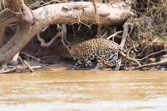 Jaguar de Pantanal, el Brasil fotos de archivo libres de regalías