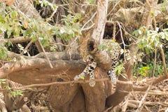 Jaguar de Pantanal, el Brasil foto de archivo