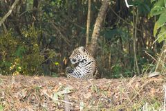 Jaguar de Pantanal, el Brasil foto de archivo libre de regalías