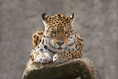 Jaguar de reclinación Fotos de archivo