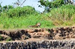 Jaguar de reclinación Fotografía de archivo libre de regalías
