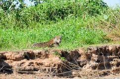 Jaguar de reclinación Fotografía de archivo