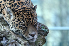 Jaguar de sommeil Image stock