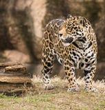 Jaguar de Spoted Image libre de droits
