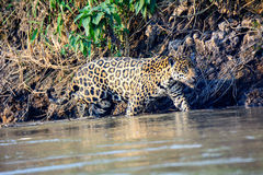 Jaguar in de wateren van Cuiaba-rivier het rondsnuffelen Royalty-vrije Stock Afbeeldingen
