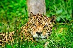 Jaguar, der entlang Sie anstarrt Lizenzfreie Stockfotos