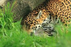 Jaguar Royalty Free Stock Photos