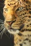 Jaguar Royalty Free Stock Photo
