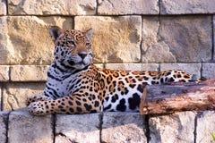Jaguar die 2 rust royalty-vrije stock foto