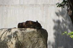 Jaguar die in gevangenschap rusten Stock Afbeeldingen