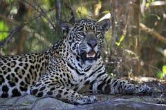 Jaguar die op de Rivierbank rusten Royalty-vrije Stock Foto's