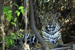 Jaguar die ter plaatse rusten Royalty-vrije Stock Afbeeldingen
