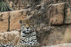 Jaguar doser Fotografering för Bildbyråer