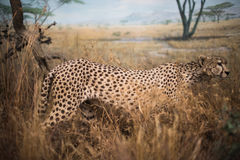 Jaguar draußen Stockbild