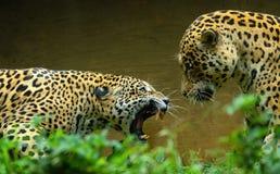 Jaguar in Dubbele Cat Fight wordt geschilderd die Royalty-vrije Stock Afbeeldingen