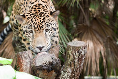 Jaguar Eating a Treat Royalty Free Stock Images