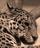 Jaguar is een kat, katachtig in de Panthera-soort stock foto