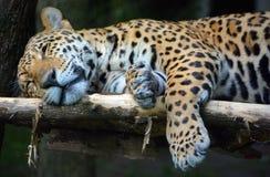 Jaguar is een kat, katachtig stock afbeelding