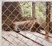 Jaguar in einem Gefängnis lizenzfreies stockbild
