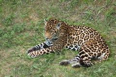Jaguar in einem Rest Stockbild