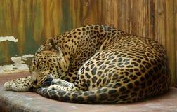 Jaguar el dormir Fotos de archivo libres de regalías