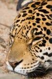 Jaguar el dormir foto de archivo libre de regalías