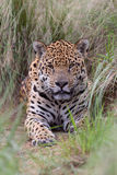 Jaguar em Brasil Fotos de Stock Royalty Free