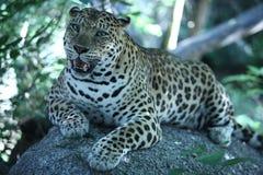 Jaguar em Phnom Tamao Zoo Imagem de Stock Royalty Free