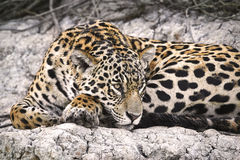 Jaguar em um banco de rio Foto de Stock