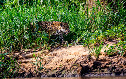 Jaguar emerging from the undergrowth Stock Image