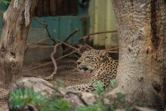 jaguar fotos de archivo libres de regalías