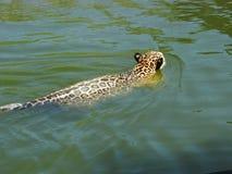 Jaguar en el agua Imágenes de archivo libres de regalías