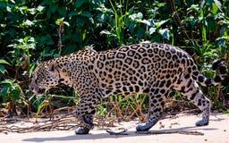 Jaguar en el vagabundeo Imagen de archivo libre de regalías