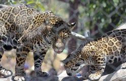 Jaguar en Haar Welp achter Dierentuindraad Royalty-vrije Stock Foto's