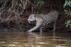 Jaguar en la selva en el Brasil fotografía de archivo libre de regalías