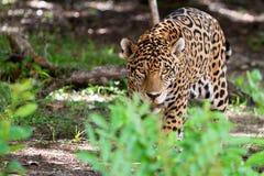 Jaguar en stationnement de faune de Jucatan Photo stock