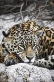 Jaguar en una orilla del río Imagenes de archivo