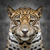 Jaguar enfrenta perto acima Fotos de Stock