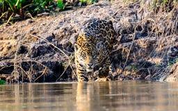 Jaguar entrant dans la rivière de Cuiaba Image stock