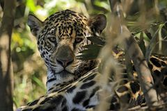 Jaguar, Eye-contact through the Foliage Stock Images