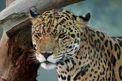 Jaguar face Stock Photos