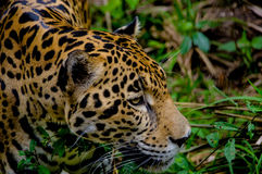 Jaguar face closeup Royalty Free Stock Images