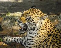 Jaguar face portrait (Panthera onca) Royalty Free Stock Photos