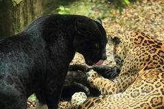 Jaguar family Stock Photography