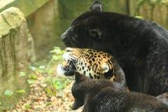 Jaguar family Royalty Free Stock Photo