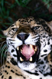 Jaguar fangs. Roaring jaguar in Celize zoo in Central America royalty free stock photo
