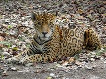 Jaguar. Feline - animal Royalty Free Stock Image