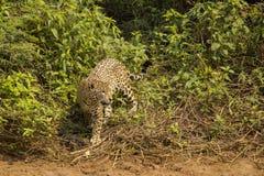 Jaguar Flicking Tail alongside Jungle Bushes Royalty Free Stock Image