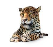 Jaguar - front view, isolated Royalty Free Stock Photos